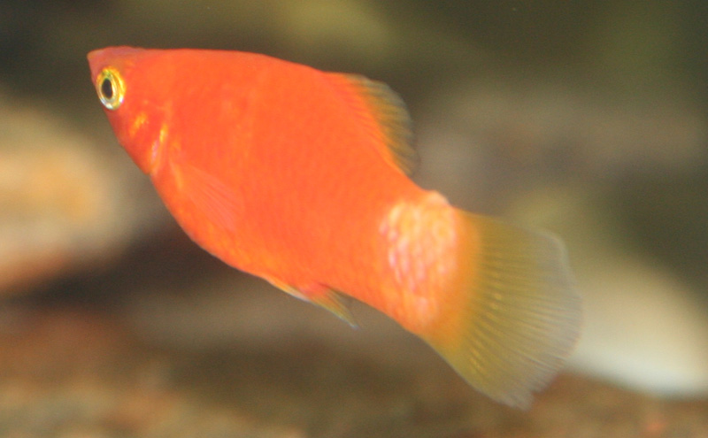 Molly with white or blister spot stressed ick fungus for Fish disease ick